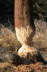 beaver-223711_640