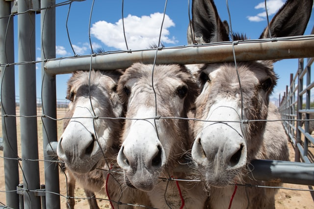 Three burros with brown and white noses stare through wired fence side by side
